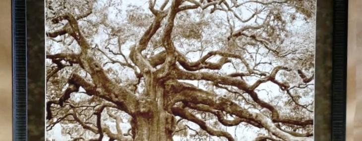 Large Angel Oak Photo!
